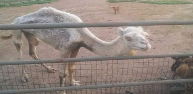abuja-zoo-camel